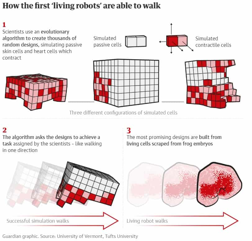 How living robots walk